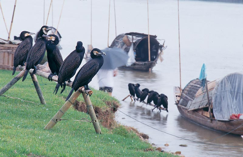 Cormorants on Li River