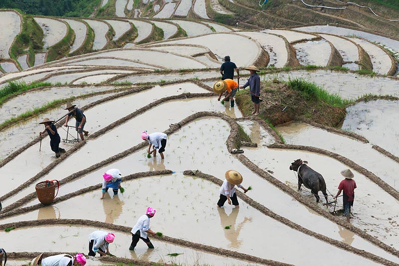 Planting Rice Seedlings in Spring