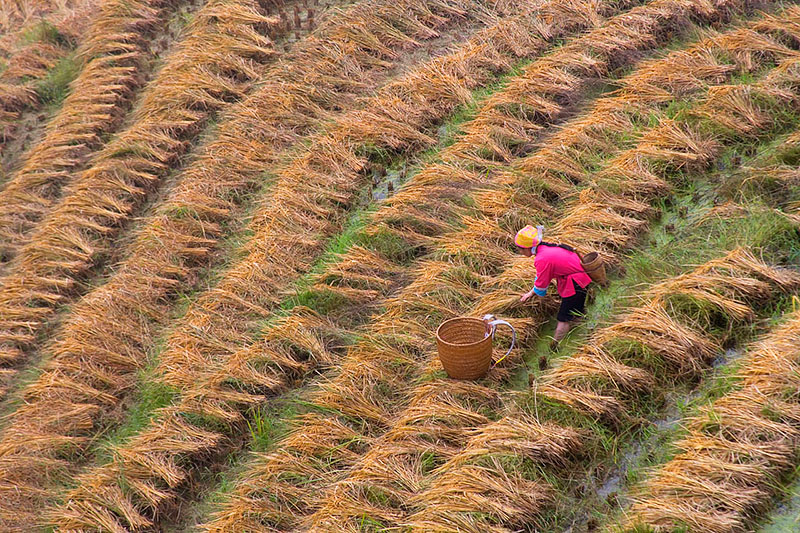 Zhuang Girl Harvesting Rice on Longji Terraces
