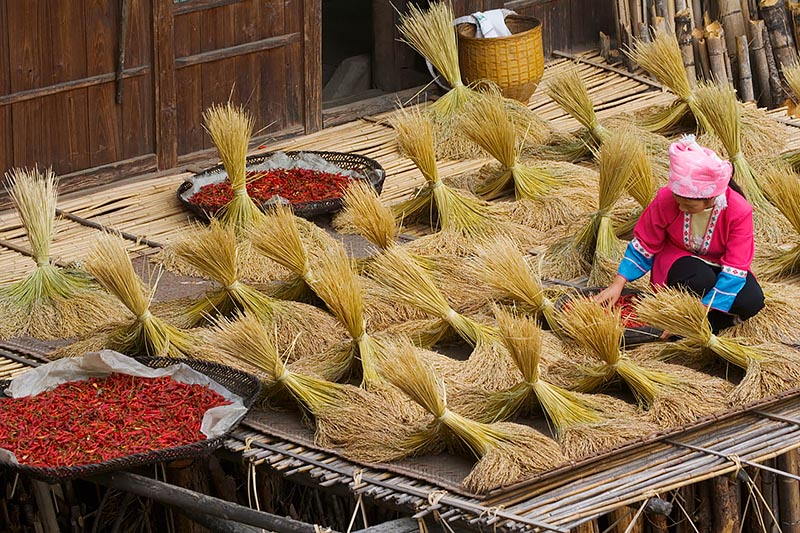 Zhuang Girl Drying Harvested Rice Bundles